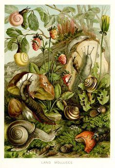 Vintage Land Molluscs illustration - wow, almost make slugs look pretty!