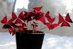 """One of my favorite plants.  """"The Love Plant...alias Purple Shamrock and in botanical terms... Oxalis Triangularis. ...The leaves of the shamrock appear dark purple but on the underside, with the sun shining through, they were red."""""""