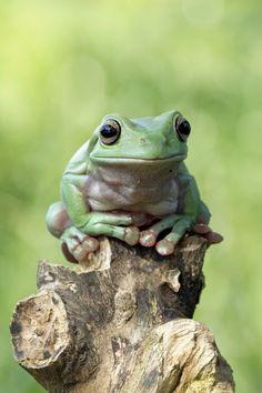 phototoartguy:  Dumpy frog by kurito afsheen on Flickr ☛ http://flic.kr/p/u3nL5f   White's tree frog a.k.a. Dumpy tree frog (Litoria caerulea)