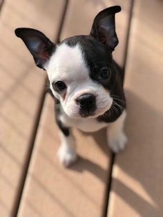 All About Friendly Boston Terrier Puppies Grooming #bostonterrierbaby #bostonterriercuties #bostonterrierforlife #bostonterrierlove Boston Terrier Temperament, Brindle Boston Terrier, Baby Boston Terriers, Boston Terrier Love, Pitbull Terrier, Terrier Dogs, Cute Puppies, Cute Dogs, Dogs And Puppies