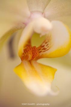 Flore - Orchidée jaune - St-Barth - FWI - © Tony Duarte