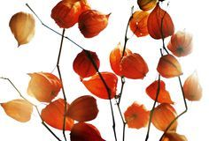 Red decorative garden plants Stock Images
