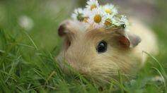 guinea-pigs-free-wallpaper-hd-wallpaper-animals-images-guinea-pig-hd-wallpaper.jpg 1,920×1,080 pixels