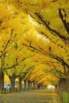 Ginko Trees, Jingu, Tokyo,Japan