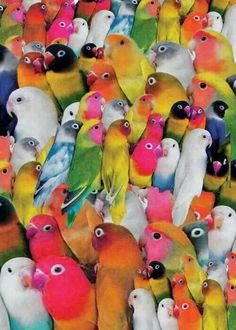 Love Birds and Budgies Pretty Birds, Love Birds, Beautiful Birds, Animals Beautiful, Cute Animals, Beautiful Babies, Exotic Birds, Colorful Birds, Colorful Parrots