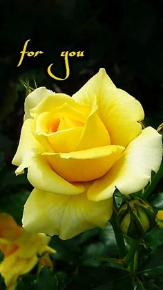 All about roses , flowers & butterflies Beautiful Rose Flowers, Love Rose, Amazing Flowers, Wallpaper Nature Flowers, Flower Phone Wallpaper, Yellow Rose Flower, Yellow Flowers, Rose Pictures, Flower Photos