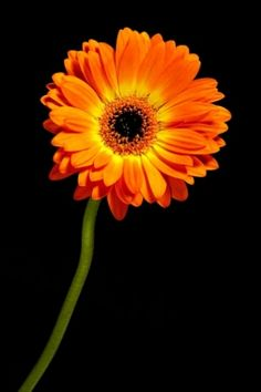 Gerbera Flower, Daisy, Dimples, Plants, Beautiful, Art, Everything, Flowers, You Are Wonderful
