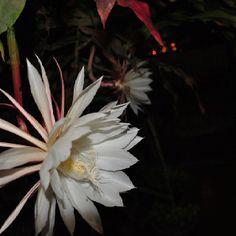 Flor de una noche