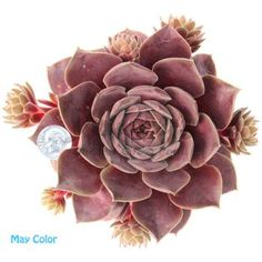 Pacific Magic Night Sempervivum | Hens and Chicks Plant for Sale