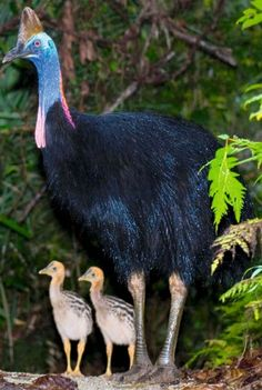Cassowary with chicks...mainly located in the tropical rain forests of New Guinea and northeastern Australia