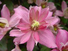 Clematis montana 'Broughton Star', Bosrank of bosdruif.  Clematis montana 'Broughton Star', een bosdruif of bosrank, bloeit met donker roze tot rozerode kleine bloemen. De bloemen van Clematis montana 'Broughton Star' openen zich in de periode mei-juni. Het blad is opvallend roodbruin van kleur.