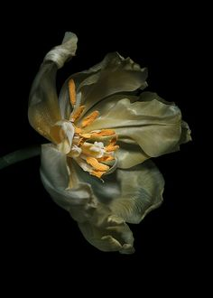 Tulip by bbclare on Flickr
