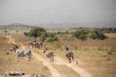 Zebras in Kenya...