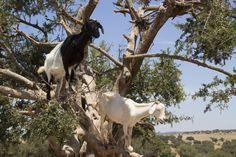Arbol de Argan, cabras.