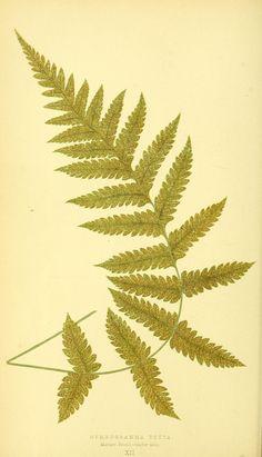 v. 1 - Ferns: British and exotic... - Biodiversity Heritage Library