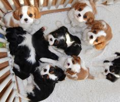All the things I enjoy about the Smart Cavalier King Charles Spaniel Puppy Cavalier King Charles Spaniel, King Charles Puppy, Cute Puppies, Cute Dogs, Spaniel Puppies, Cocker Spaniel, Cute Baby Animals, I Love Dogs, Cute Creatures