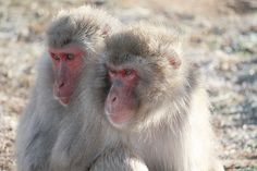 Snuggle up. Two Snow Monkeys share some warmth during a cold spell at the Born Free USA Primate Sanctuary in Texas.