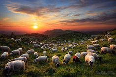 A Sunset with the Sheep by Maxime Courty