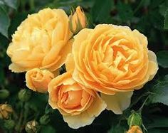 Roses for Mediterranean climates as recommended by Charles Quest-Ritson. Hover over any image to bring up the name. You can hearCharles' lecture here
