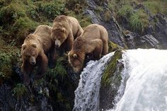 Ines Griguol  ~~Bears on Kodiak Island, Alaska~~    Lying in the Gulf of Alaska, Kodiak is the largest of the USA's islands and is frequently called Alaska's 'Emerald Isle'.    Kodiak town was once the capital of Russian Alaska and this heritage live on in the Baranof Museum, Erskine House and the Holy Resurrection Church. Today, fishing is the dominant industry on the island, leaving the mountainous interior largely untouched.  Kodiak bears