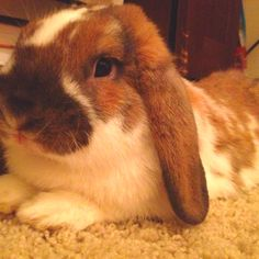 My holland lop!