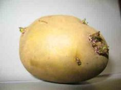 Growing Potatoes that have gone to seed in your cupboard
