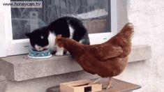 오직 닭 만이 가능한 회피력