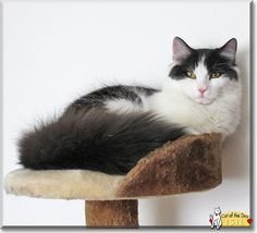 Isil the Maine Coon mix