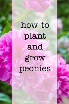 Here's everything you need to know about how to grow peonies! From watering to planting tips, help your peony plant thrive. #fromhousetohome #peonies #gardening #fullsunplants Spring Perennials, Full Sun Perennials, Full Sun Plants, Shade Perennials, Peony Bush, Gardening For Beginners, Gardening Tips, Peony Plant