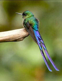 Violet-tailed Sylph (Aglaiocercus coelestis). Females choose males with the longest tails, proving they're fit enough to carry a heavy load of feathers. (Michael Woodruff)