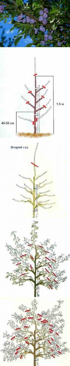Поэтапное формирование кроны сливы | Дача - впрок | Сад и огород | Постила