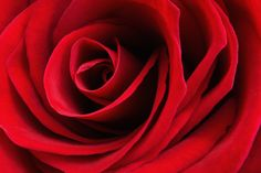 Red Rose in relation to Kants perception of beauty