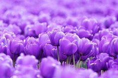 My wedding flower.  Purple Tulips