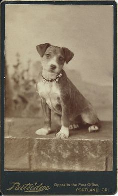"""c.1890s cdv of adorable hound puppy sitting on a """"stone"""" wall in photographer's studio, wearing a fancy collar. Photo by Partridge, Opposite the Post Office, Portland, OR. From bendale collection"""