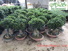 FICUS GINSENG BONSAI Ficus Ginseng Bonsai, Garden, Plants, Garten, Lawn And Garden, Gardens, Plant, Gardening, Outdoor