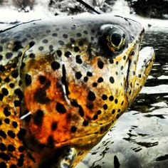 It is great to be a fly fishing guide in Colorado!