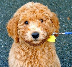 Banjo the Labradoodle Pictures 755783