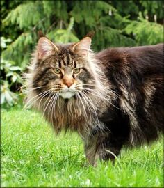 Maine Coon, Escudo Velvet Rose. Has an awesome shaggy wild look that I love! Sherlock Villa Park*PL - Villa Park*PL
