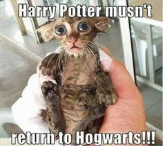"""If you want to laugh then just read out these """"Top Harry Potter Cat Memes"""".These """"Top Harry Potter Cat Memes"""" are so hilarious and able to make you laugh.Just read out these """"Top Harry Potter Cat Memes"""". Baby Animals, Funny Animals, Cute Animals, Funniest Animals, Dobby Cat, Chat Sphynx, Animal Pictures, Funny Pictures, Funny Pics"""