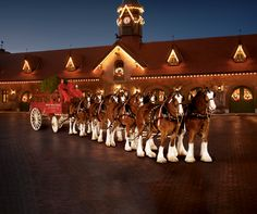 The first Clydesdales holiday commercial aired in 1976, depicting the Merrimack, N.H.-based hitch returning home for the holidays on a snowy evening.  Clydesdales are  housed and tours are available in Merrimack, NH
