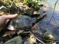 Turtle Releases Part One World Turtle Day, Serious Injury, Turtles, Dates, Virginia, November, Wildlife, Range, Spring