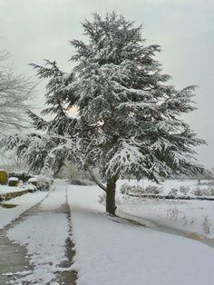 vwcampervan-aldridge:  Snow covered fir tree, Long Birch , Staffordshire, England All Original Photography byhttp://vwcampervan-aldridge.tumblr.com