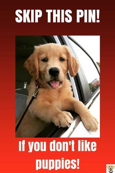 Cute Golden Retriever Puppy. If you liked any of these images be sure to save and comment! Thanks! #puppy #doglovers #goldenretriever #cute