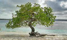 Un solo manglar en una playa de Morrocoy