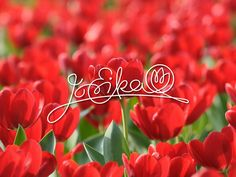 Backgrounds For e Red And White Tulips Wallpaper Flowers