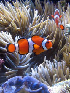 Clownfish:'Bizarrely, all clownfish are born male. But as they grow and establish hierarchies, the dominant male switches sex to become female.' Read more in 100 Bizarre Animals Underwater Creatures, Underwater Life, Ocean Creatures, Saltwater Tank, Saltwater Aquarium, Colorful Fish, Tropical Fish, Marine Aquarium