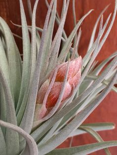 pianta grassa senza radici