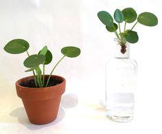 Comment bouturer un Pilea Peperomioides ? Indoor Garden, Garden Plants, Aqua Culture, Ficus, Water Garden, Houseplants, Flower Power, Planting Flowers, Flora