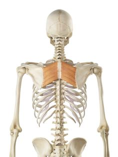 Rhomboid muscles are key for a healthy upper back, neck, and head posture. Learn how to exercise these diagonal muscles.