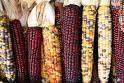 Beautiful organic red maize